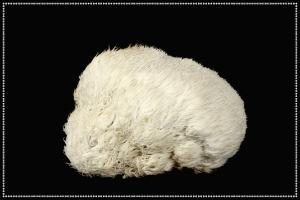 Vitalpilz Hericium für Haustiere