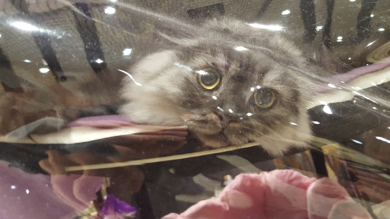 Katzenausstellung Neumünster - Baily