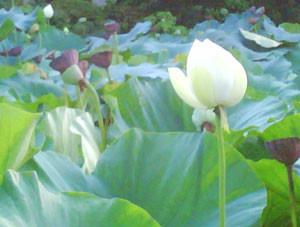 鎌倉八幡の袖で観た白い蓮華の花。泥に毒さず、美しく咲く花。。。