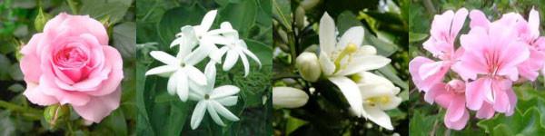 左からローズ、ジャスミン、ネロリ、ゼラニウム ※ゼラニウムは花だけでなく葉からも精油を抽出します。