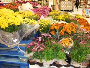 墓参りの為の鉢植え菊、カーフールの花売り場