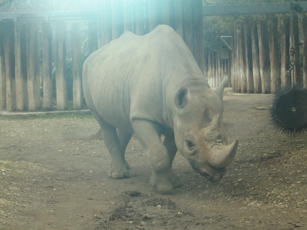 Das riesige Nashorn