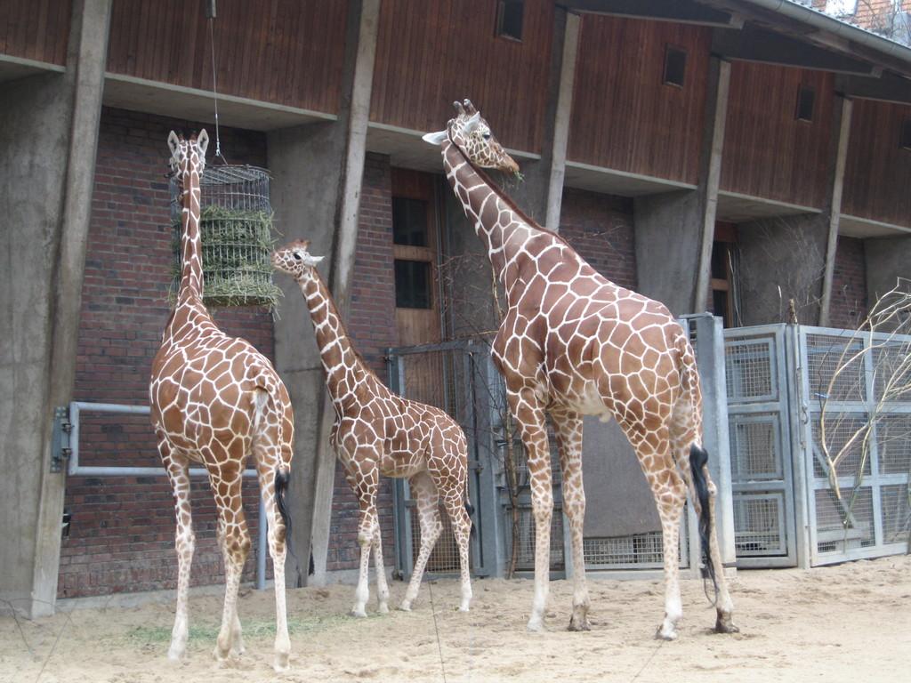 Giraffenfamilie mit Kind
