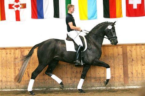 Valack ue Don Frederico, näst dyraste dressyrhäst på sommarauktionen 2011 i Verden. 65 000 euro