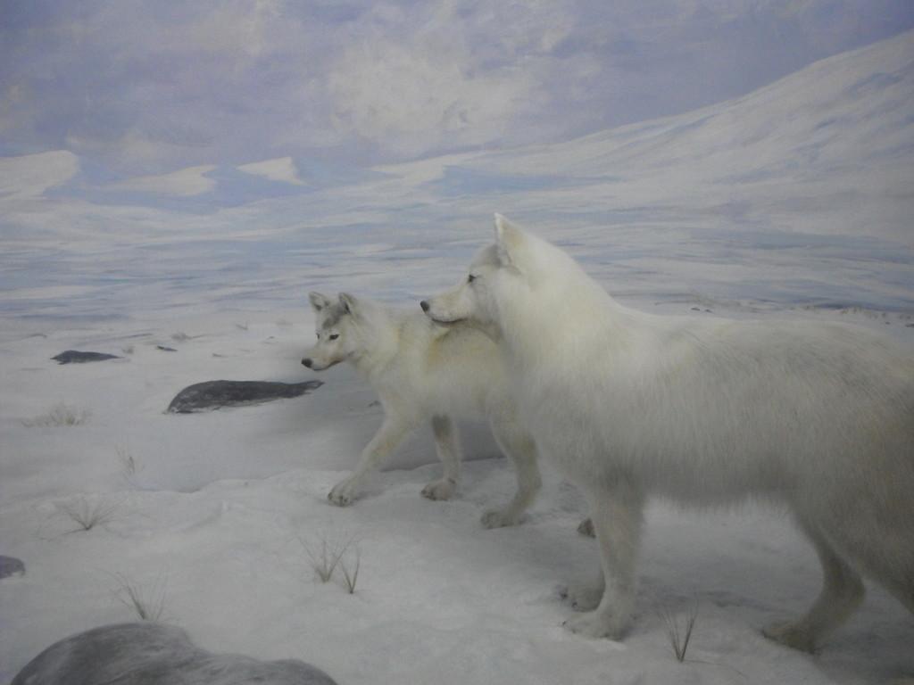 Des chiens du grand Nord! En tete a tete avec un buffle,
