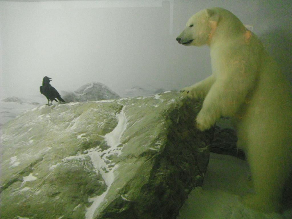 L'ours du polaire...et l'amie corneille!