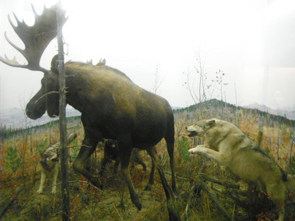 Des loups jouant a vouloir se nourir d'un gros male orignal!