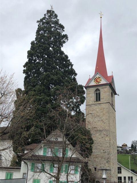 Die heiligen Bäume von Weggis