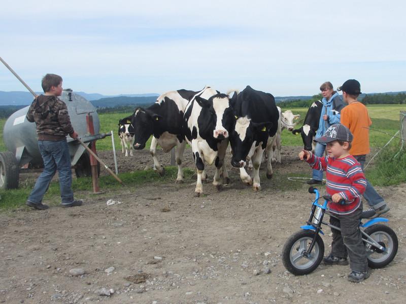 Jan ist beeindruckt von den Kühen.