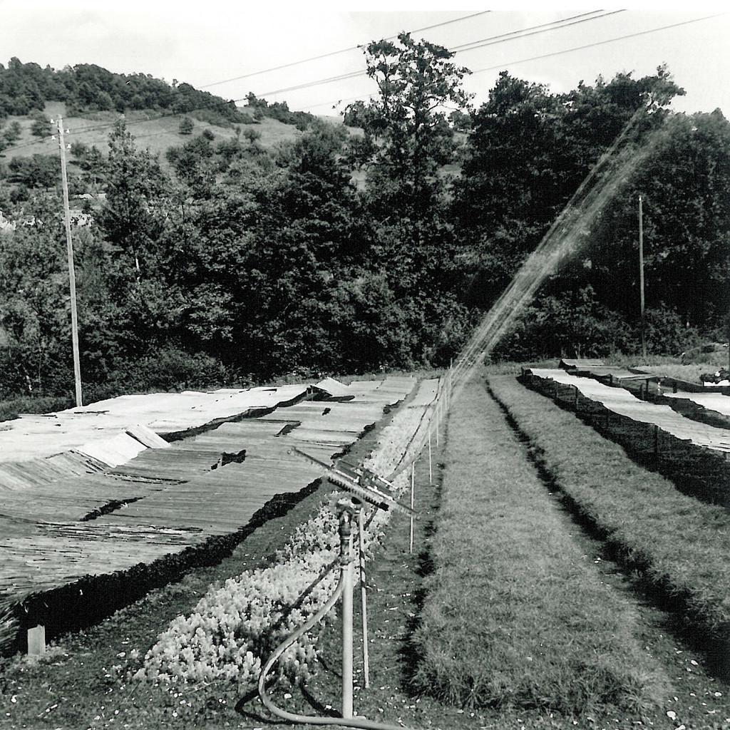 Wässern der Neuverschulung und Saaten unter den Schilfmatten