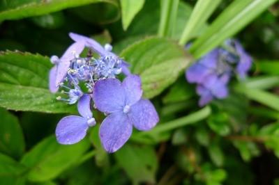 紫陽花?きれいにたくさんさいてました
