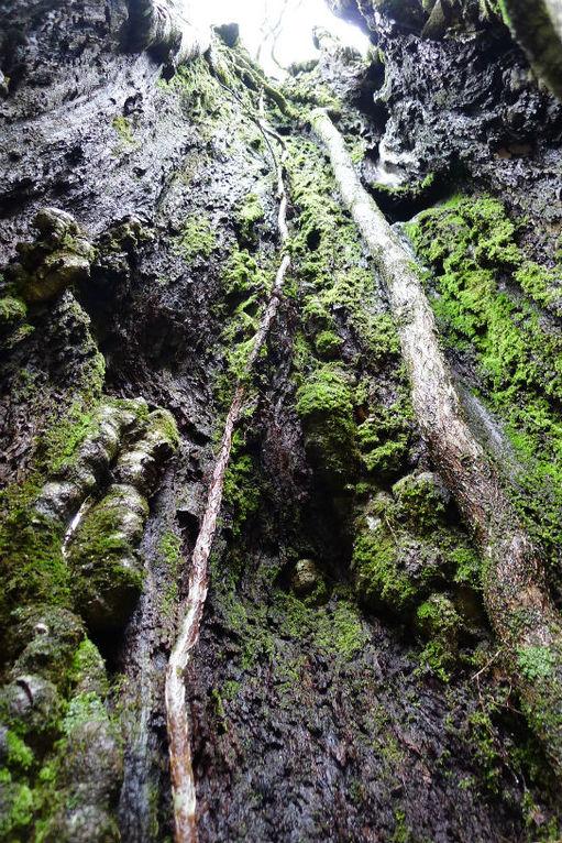これは、ブナの大木の中