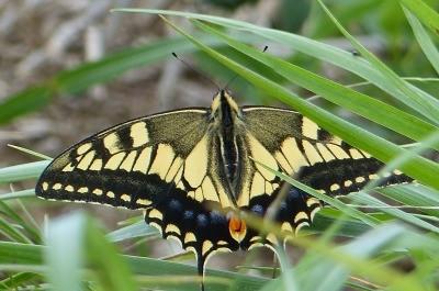 山頂は虫の宝庫、虫嫌いの坊主が捉えたアゲハ蝶
