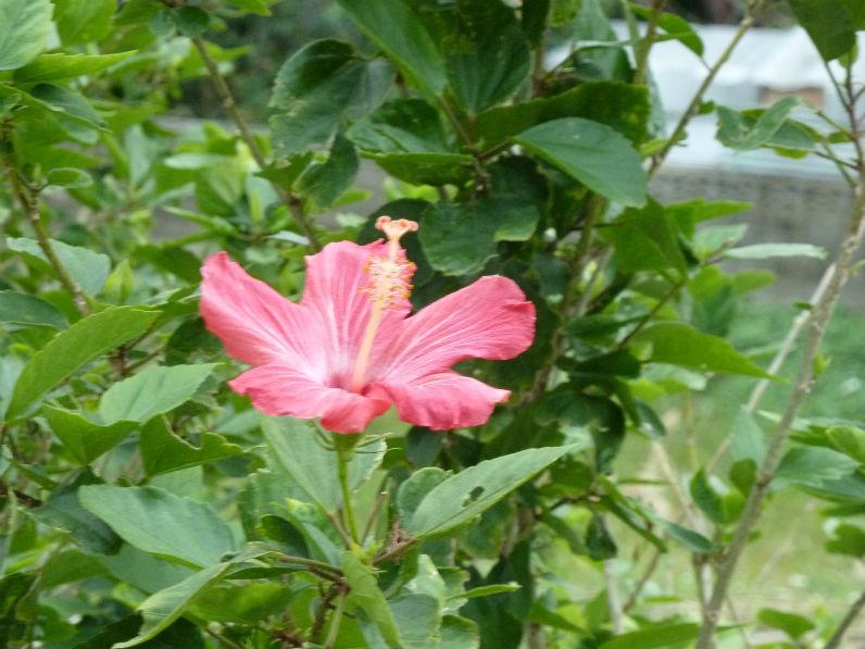 常夏の花、ハイビスカス?あたたかいんです。
