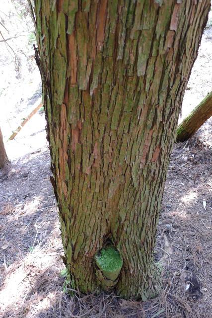 この木はオスかな・・・?