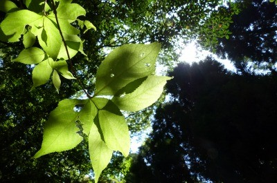 最近の坊主の定番新緑と光の葉
