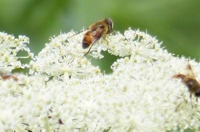 坊主が狙ったミツバチ