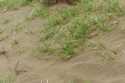 砂丘でも緑が・・・砂丘維持のため除草しているとのこと・・・