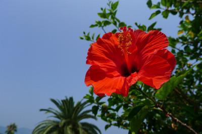 南国の花 ハイビスカスと青空