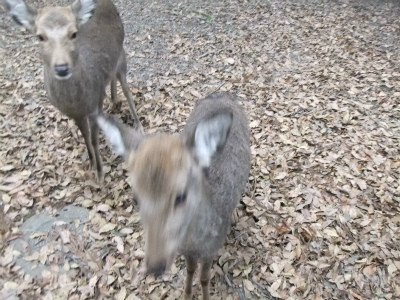 奈良公園の鹿は、せんべいくださいとお辞儀をするのにはビックリ!