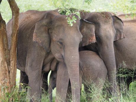 Wilden Elefanten im Minneriya Nationalpark Rundreise mit Jeep-Safari hier beim Sri Lanka Spezialisten Reiselotsen  zu buchen