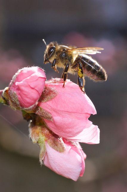 Pfirsichblüte mit Biene