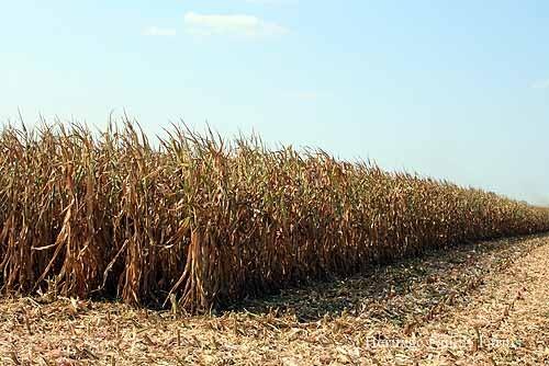 Corn harvest 2012