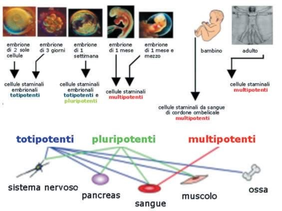 Cellule staminali questo il futuro francesco aloisi sito ufficiale - Che forma hanno le cellule dei diversi tessuti ...