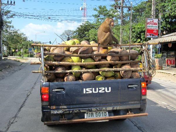 Koh Samui gilt als die Kokosinsel schlechthin. Die Affen werden dressiert um die Kokosnüsse von den Palmen zu holen