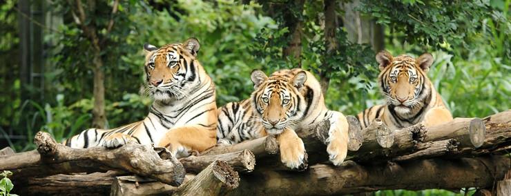 Im Tiger-Kingdom kann man den Tigern hautnah zuschauen beim spielen, baden usw.