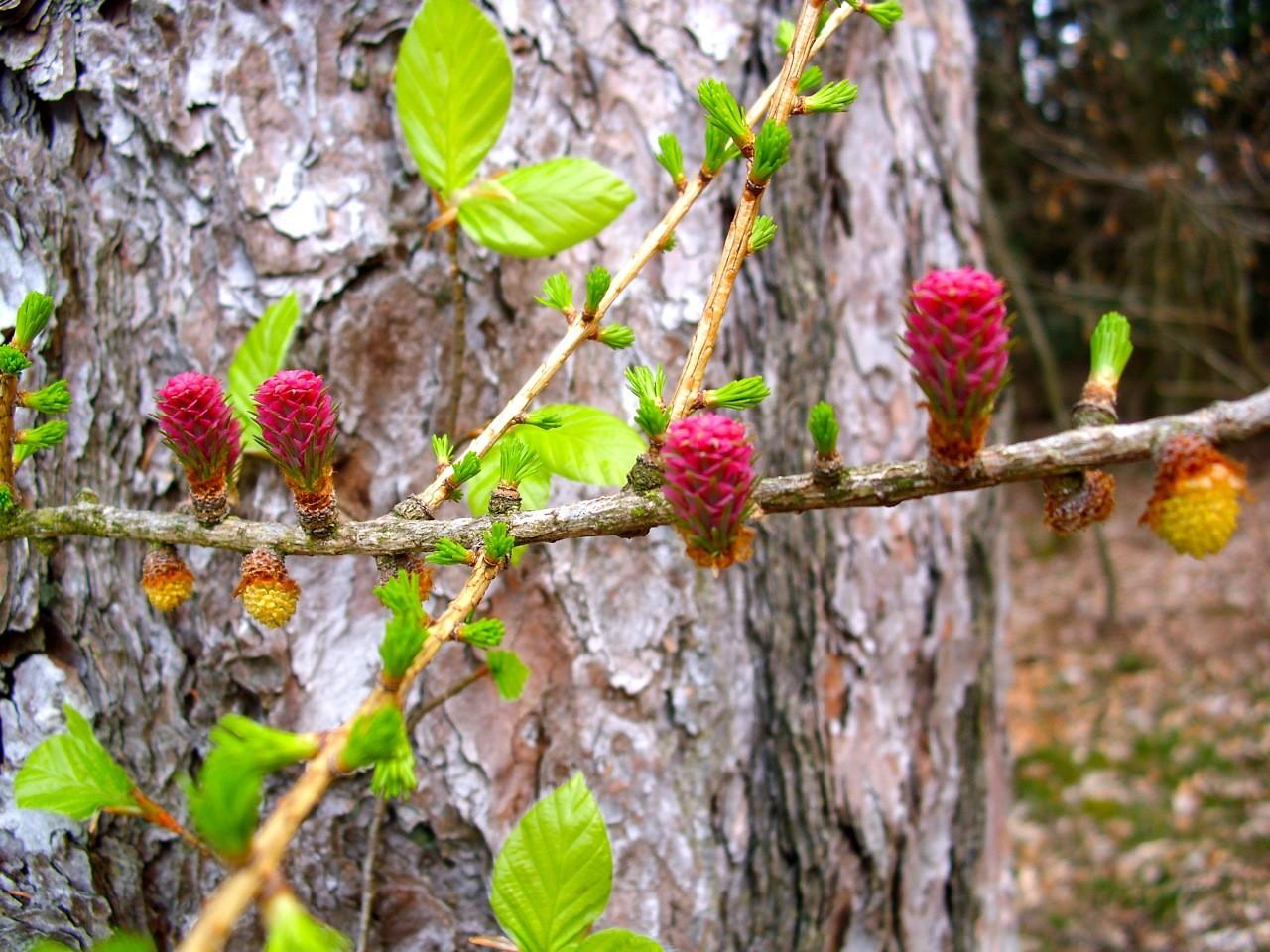 Volker Vömel zeigte auch ein Bild von der Lärchenblüte im Weilburger Wald.