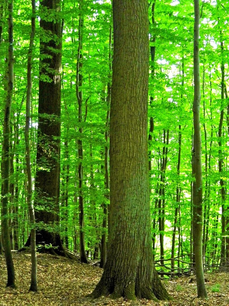 Eine solche Eiche kann als Starkholz genutzt und zu Furnieren verarbeitet werden, erklärte Volker Vömel den Teilnehmern.