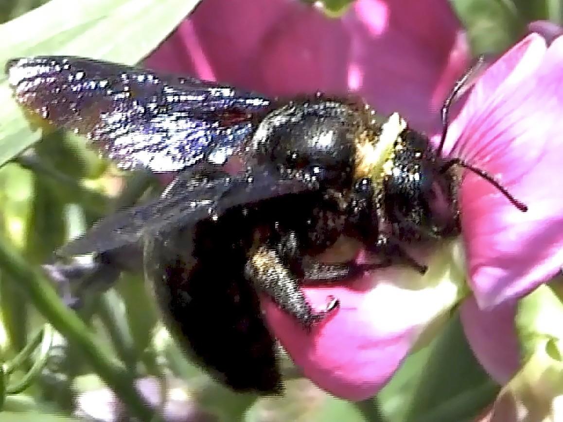 """Wie zum Beispiel diese """"Große Holzbiene"""", die bis zu 28mm groß werden kann."""