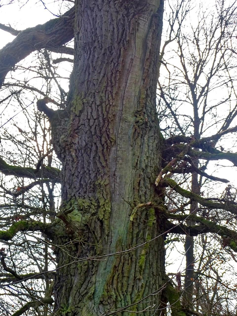 Eine Blitzschlag teilte einst diese Eiche im Kubacher Holz. Die Blitzrinne ist nie wieder richtig zugewachsen, erläuterte Volker Vömel.