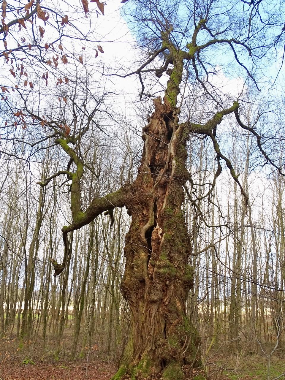 Von den Linden am Weilburger Windhof werden Samen zur weiteren Kultivierung gesammelt, da sie dem Forstsaatgutgesetz entsprechen.