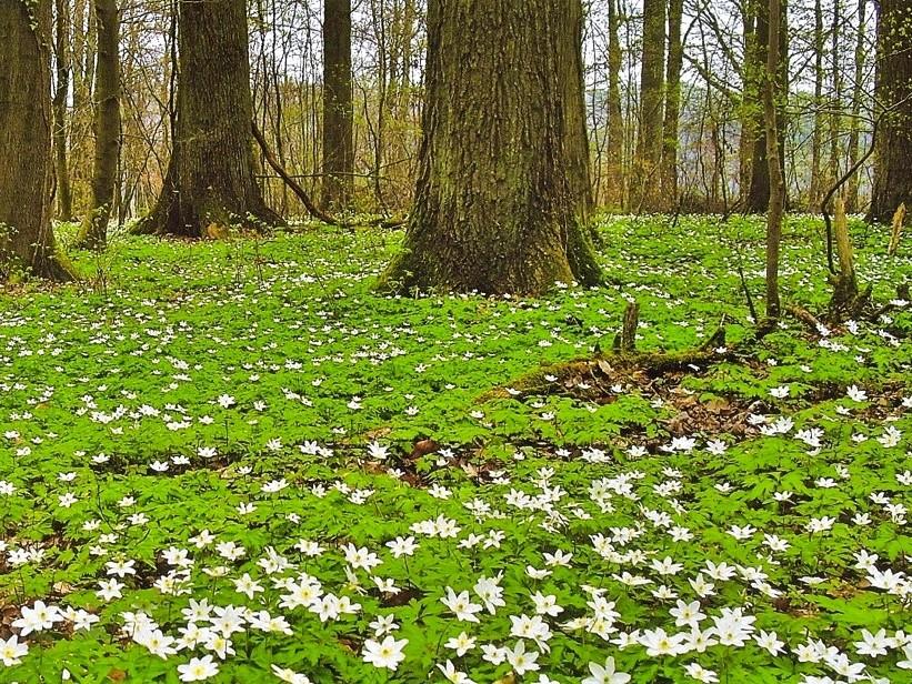 """Anemonen blühen im verwilderten Irrgarten am Windhof. Auch der Name """"Buschwindröschen"""" geht auf die griechische Sagenwelt zurück."""