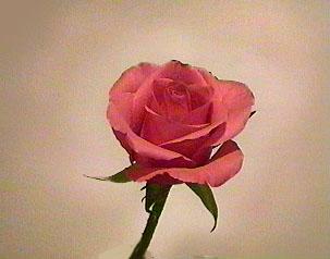 Rose aura