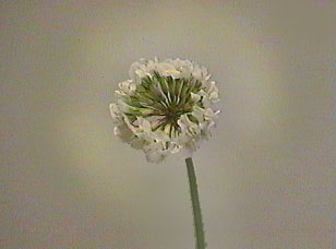 White clover aura