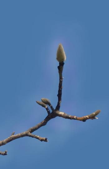 Magnolia kobus aura