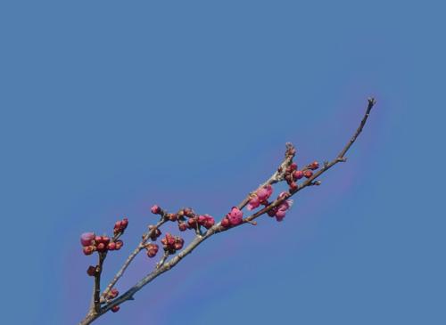 Japanese apricot aura
