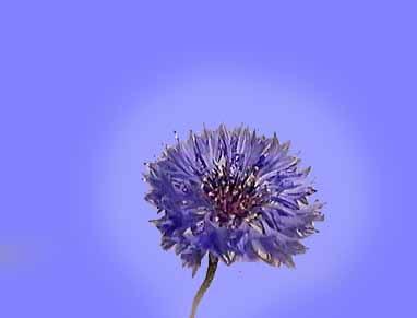 Arrift flower aura