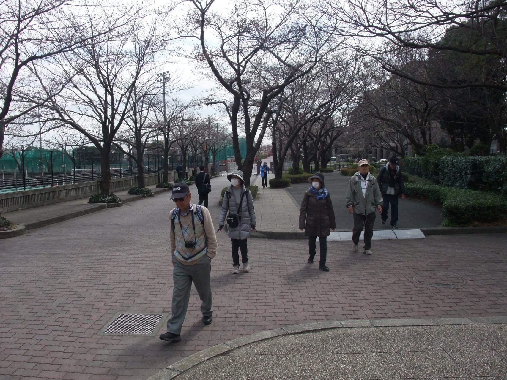 日大構内の桜木