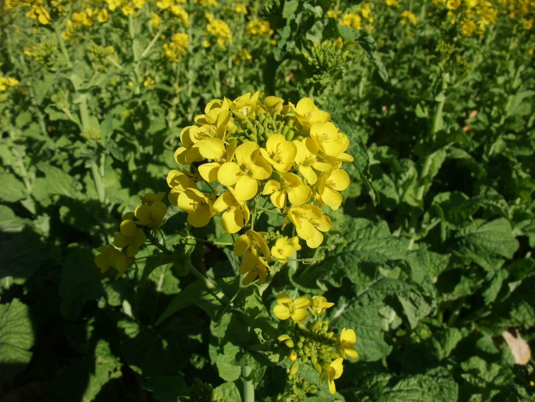 菜の花 満開