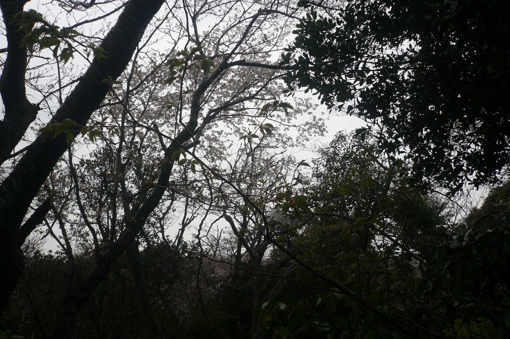 暗くてうまく撮れませんでしたが3分咲来週末見ごろ