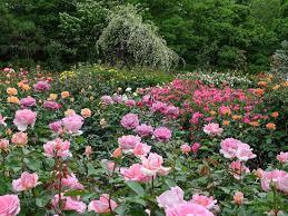 370品種、1200株のバラ