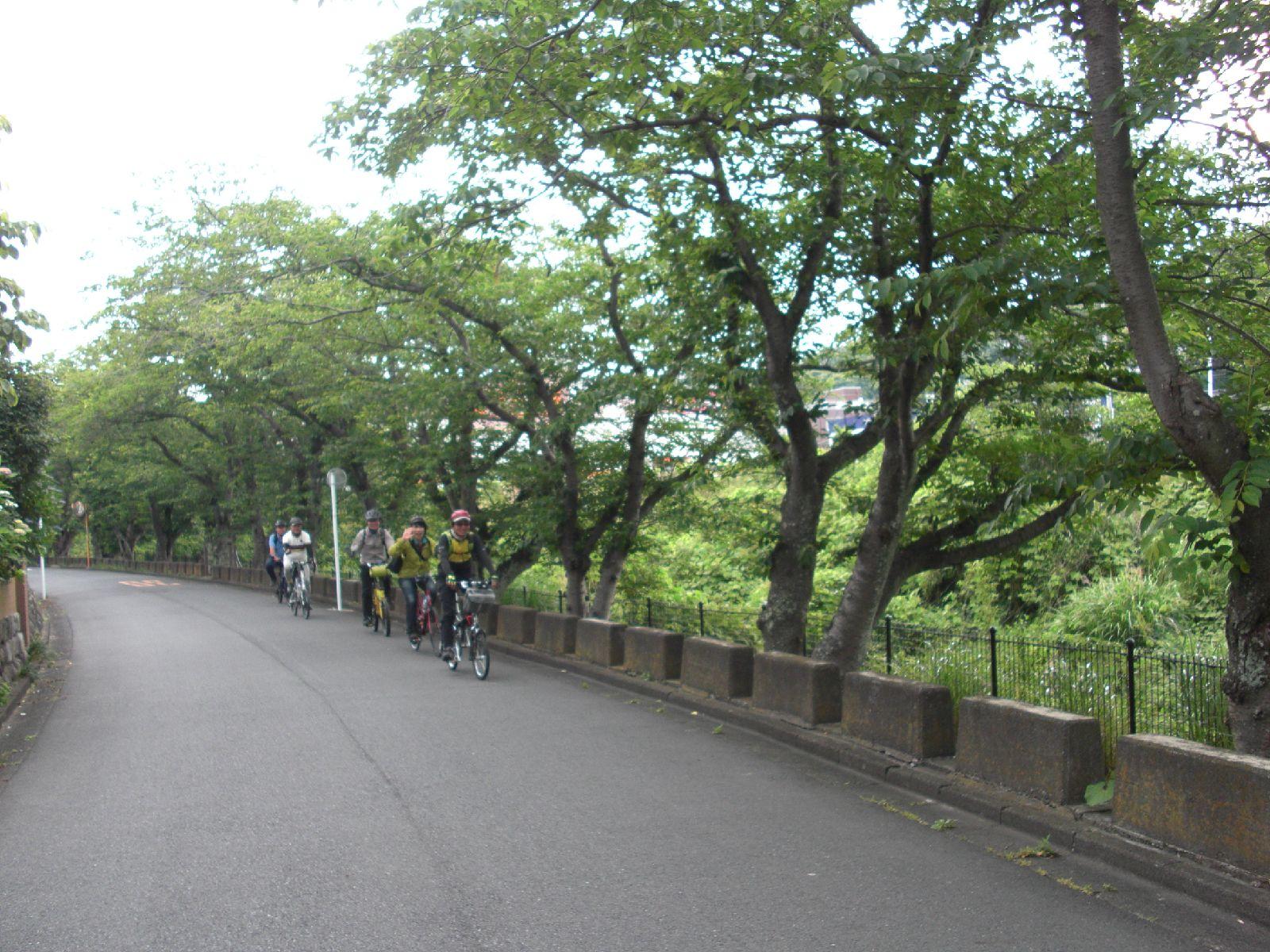 葛川桜並木