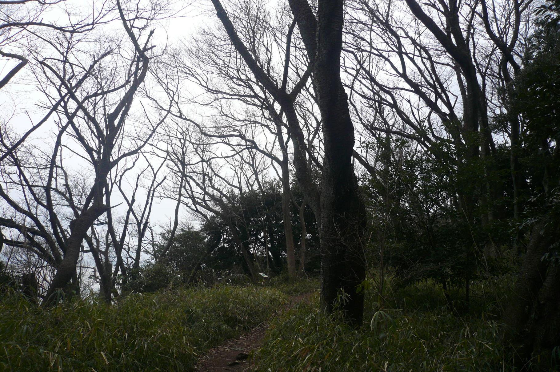 桜の古木が続く