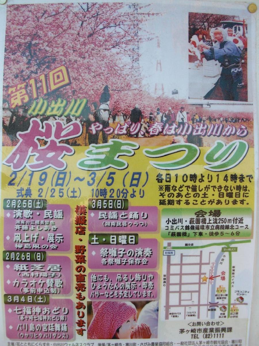 小出川沿いの河津桜