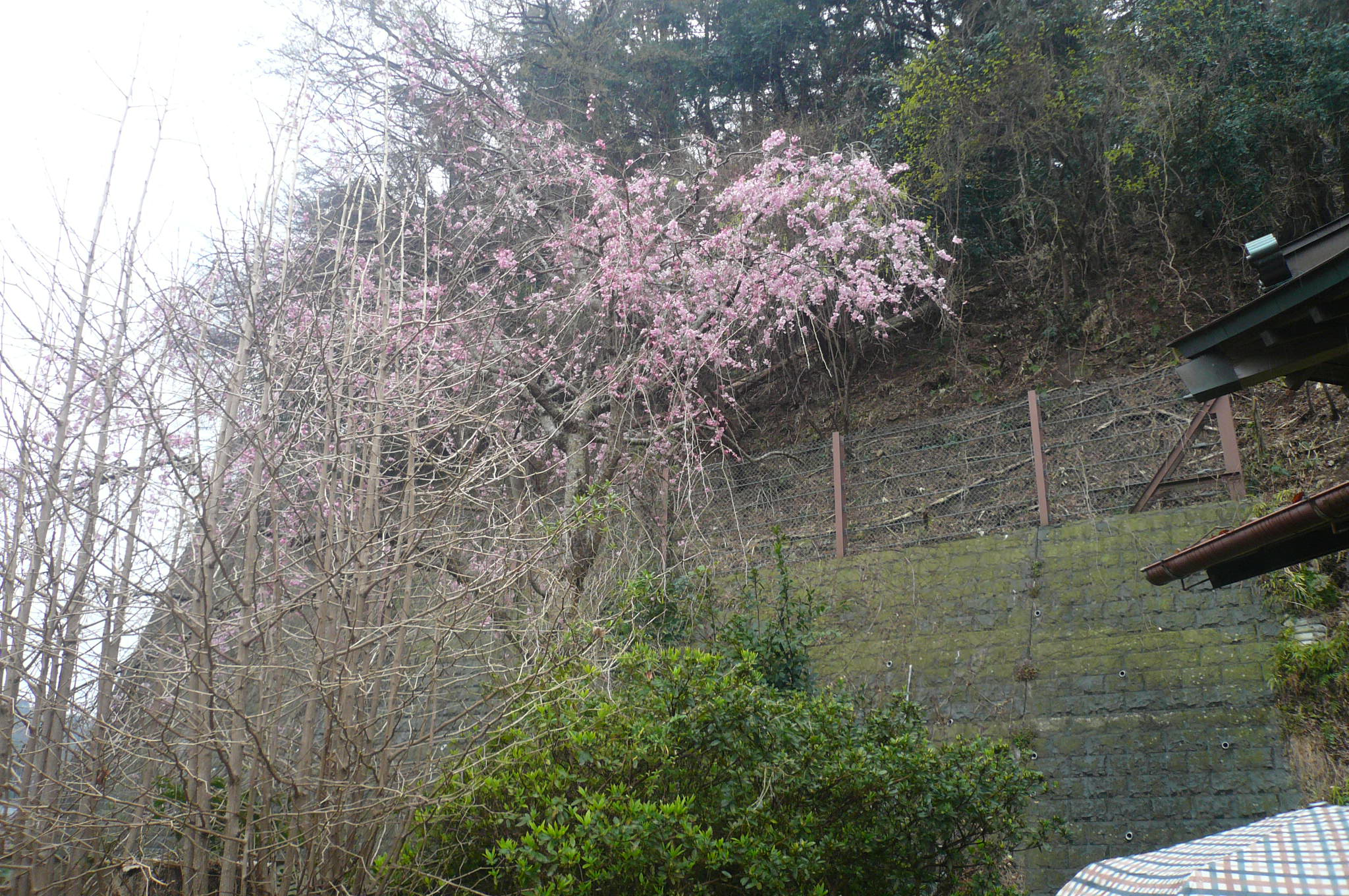 月影地蔵下より8分咲きの山桜を眺める