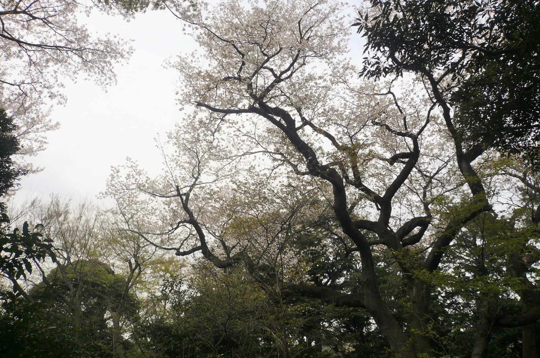 樹齢200年とか300年とか人によってさまざま